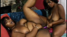Curvy black lesbians with big titties munch each other's cunts